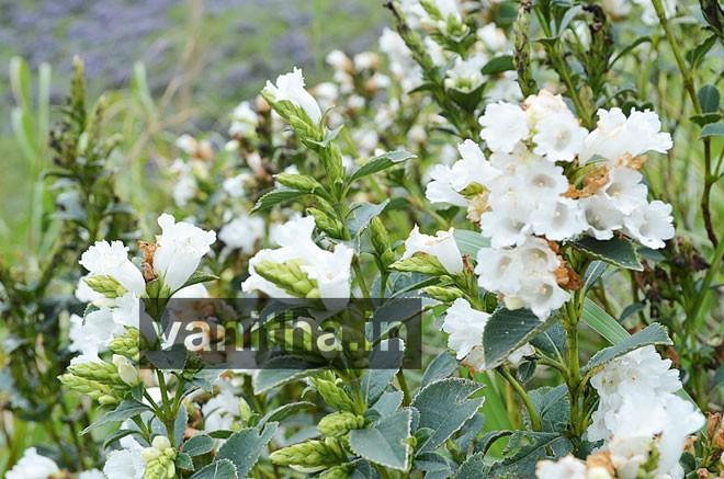 kurinji-white