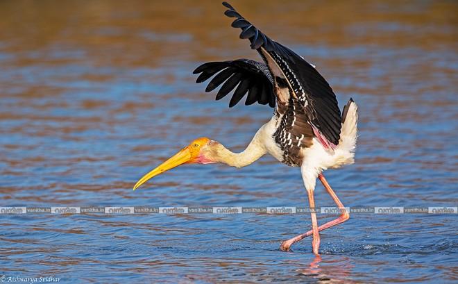 Painted-Stork_8941