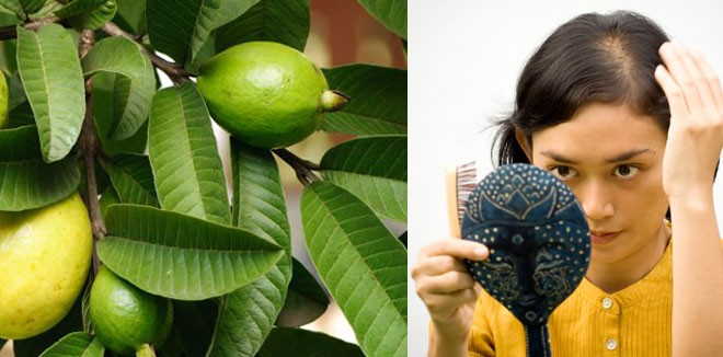 guava-leaves-for-hair