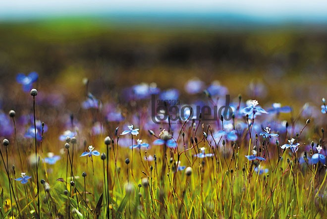 Utricularia-Carnivrous-plant-Kakkappoo
