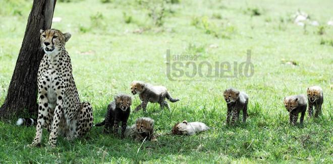 cheetah775ytfhhu