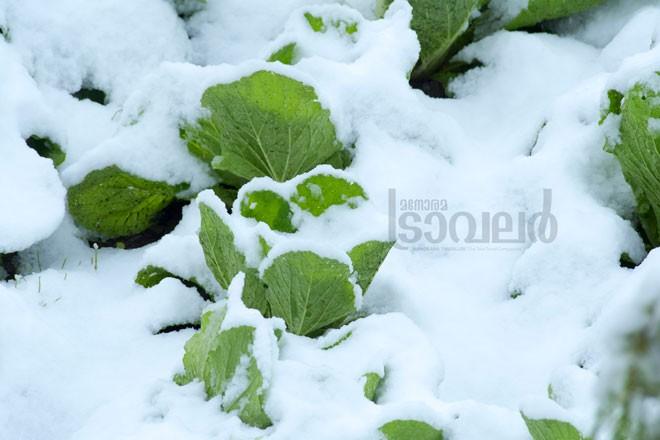 khoshal-cabbages-under-snow