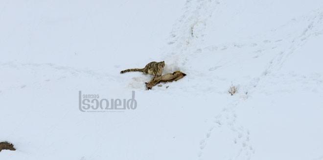 Snow-Leopard--Kibber-Village_05