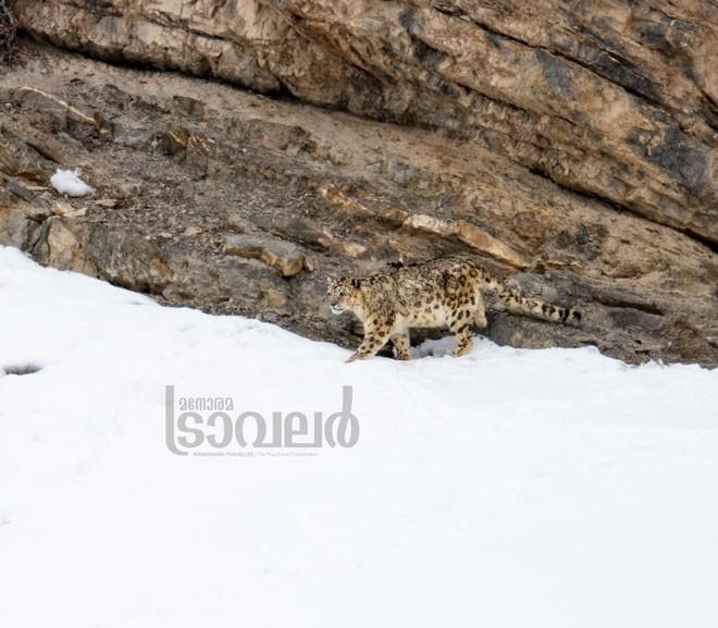 Snow-Leopard--Kibber-Village_02