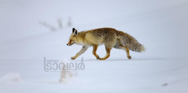 Red-Fox_kibber-vilalge-(1)