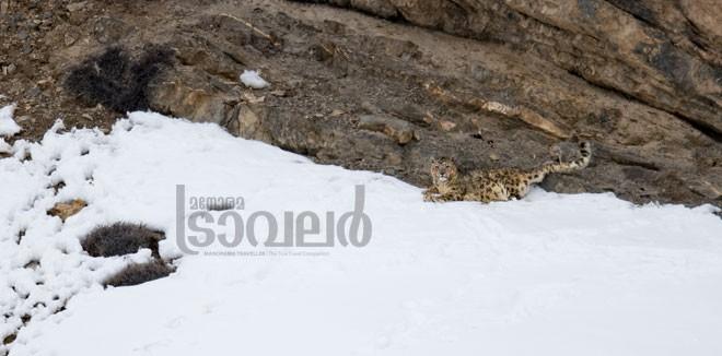 Snow-Leopard--Kibber-Village_01