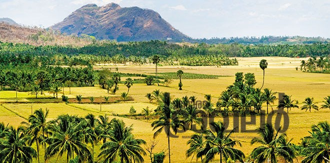 palakkad_paddy_fields