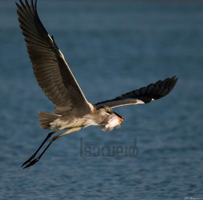 grey-heron-3-0987