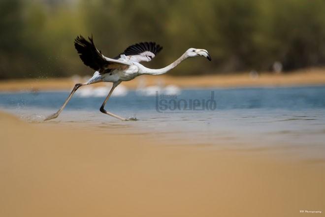 flamingo-1aa