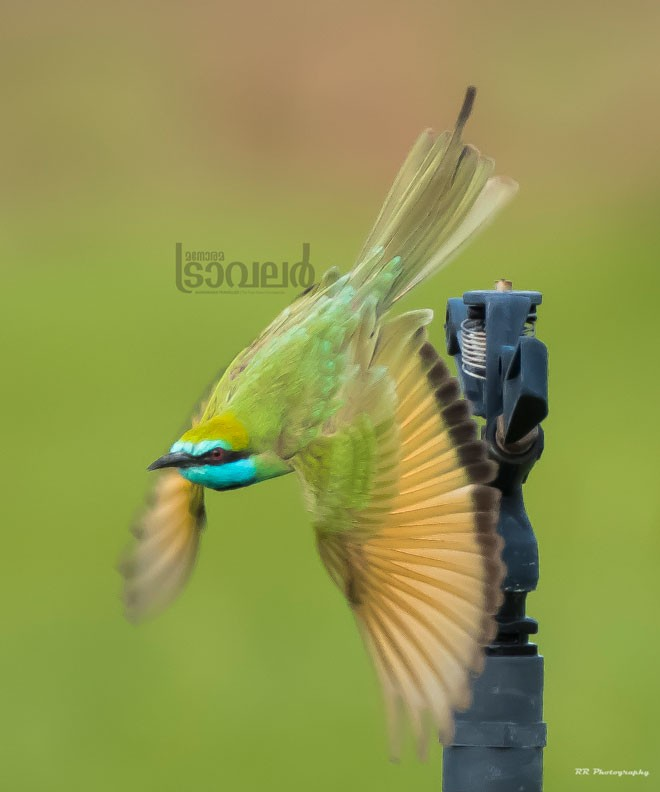 bee-eater-new-2