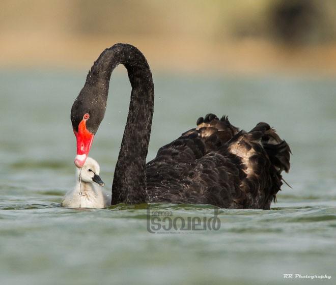 black-swan-1-0542-ab