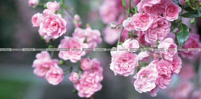 rose-853