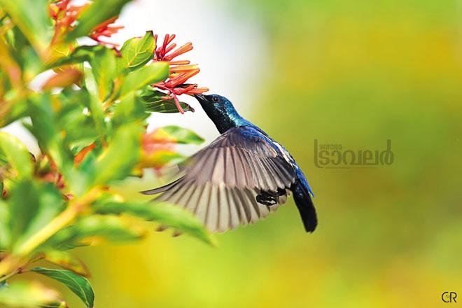 purple-sunbird2