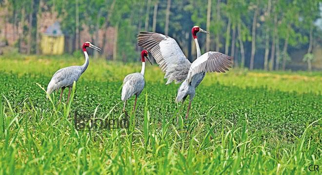 sarus-crane_uthar-pradesh