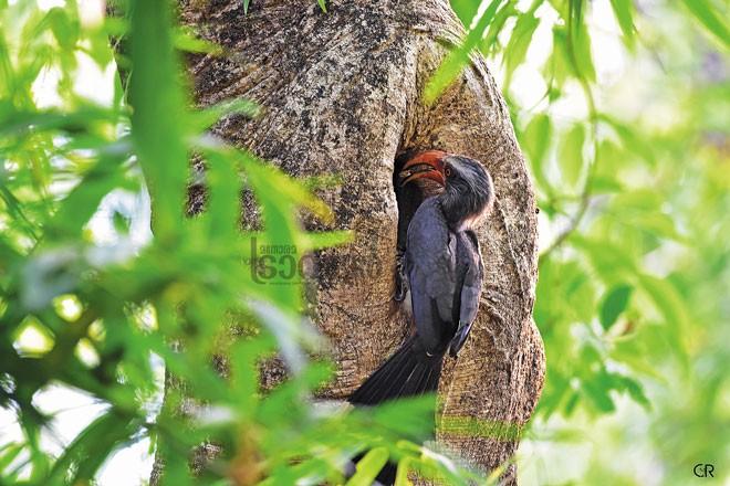 malabar-grey-hornbill_kannur