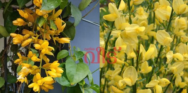 golden-cascade-flower